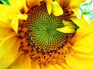 brightly coloured sunflowers
